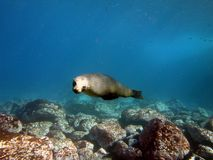 Cachorrinho do lobo-marinho Imagem de Stock