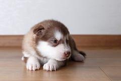 Cachorrinho do Malamute do Alasca que encontra-se no assoalho Fotografia de Stock
