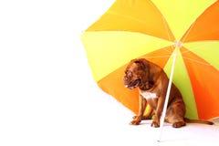 Cachorrinho do mastim do Bordéus sob o guarda-chuva Fotos de Stock Royalty Free