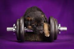 Cachorrinho do pastor alemão com peso Fundo roxo Imagem de Stock Royalty Free