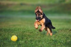 Cachorrinho do pastor alemão fora no verão Foto de Stock