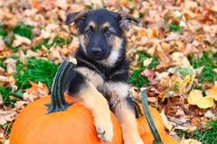 Cachorrinho do pastor alemão que senta-se ao lado da abóbora nas folhas de outono Fotos de Stock Royalty Free