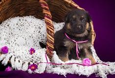 Cachorrinho do pastor alemão que senta-se em uma cesta Véu branco do laço Fundo roxo Imagem de Stock Royalty Free