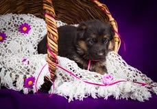 Cachorrinho do pastor alemão que senta-se em uma cesta Véu branco do laço Fundo roxo Fotografia de Stock Royalty Free