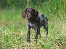 Cachorrinho do ponteiro do alemão da raça Imagens de Stock Royalty Free