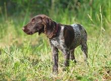 Cachorrinho do ponteiro do alemão da raça Imagens de Stock