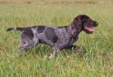 Cachorrinho do ponteiro do alemão da raça Imagem de Stock Royalty Free