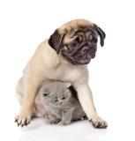 Cachorrinho do Pug com o gato escocês que senta-se junto Foco no gato Isolado Imagens de Stock Royalty Free