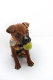 Cachorrinho do pugilista com uma bola verde Imagem de Stock Royalty Free