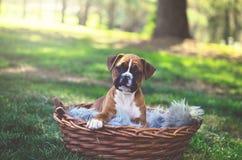 Cachorrinho do pugilista no parque Imagens de Stock Royalty Free