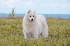 Cachorrinho do Samoyed Foto de Stock