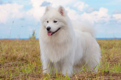 Cachorrinho do Samoyed Foto de Stock