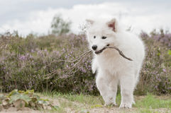 Cachorrinho do Samoyed Fotografia de Stock