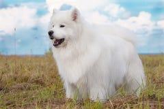 Cachorrinho do Samoyed Imagem de Stock