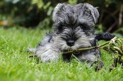 Cachorrinho do Schnauzer diminuto que joga na grama Imagem de Stock