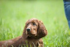 Cachorrinho do setter irlandês Fotos de Stock Royalty Free