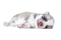 Cachorrinho do sono Imagens de Stock Royalty Free