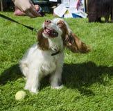 Cachorrinho do spaniel Imagem de Stock Royalty Free