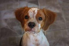 Cachorrinho do spaniel de Brittany foto de stock