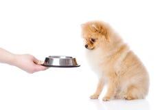 Cachorrinho do Spitz que implora pelo alimento. foto de stock royalty free