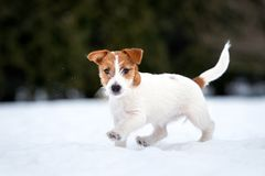 Cachorrinho do terrier de Jack russell que joga fora no inverno fotos de stock