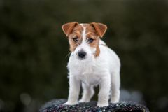 Cachorrinho do terrier de Jack russell que levanta fora fotos de stock royalty free