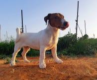 Cachorrinho do terrier de Oscar - de Jack russell imagens de stock royalty free