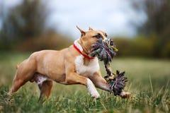 Cachorrinho do terrier de Staffordshire americano que corre fora foto de stock
