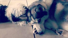 Cachorrinho do tzu de Shih e afago ronco cinzento Foto de Stock