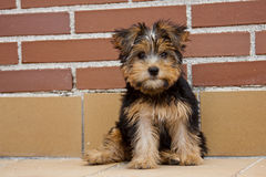 Cachorrinho do yorkshire terrier Fotografia de Stock Royalty Free