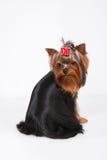 Cachorrinho do yorkshire terrier com um revestimento de seda bonito Fotografia de Stock Royalty Free