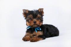 Cachorrinho do yorkshire terrier com uma curva azul imagem de stock