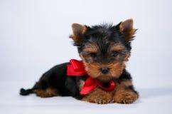 Cachorrinho do yorkshire terrier com uma curva azul fotos de stock royalty free