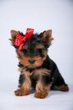 Cachorrinho do yorkshire terrier com uma curva azul fotografia de stock royalty free