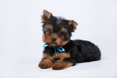 Cachorrinho do yorkshire terrier com uma curva azul imagem de stock royalty free