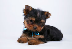 Cachorrinho do yorkshire terrier com uma curva azul fotos de stock royalty free
