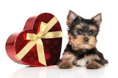Cachorrinho do yorkshire terrier e coração vermelho Fotos de Stock Royalty Free