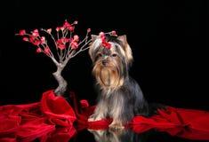 Cachorrinho do yorkshire terrier e vermelho sakura fotos de stock royalty free