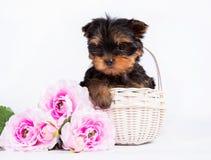 Cachorrinho do yorkshire terrier em uma cesta branca com um ramalhete de flores cor-de-rosa fotos de stock royalty free