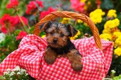 Cachorrinho do yorkshire terrier que senta-se na cesta com a cobertura vermelha e branca Foto de Stock