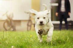 Cachorrinho doce de Labrador no prado no movimento que mostra as patas do cão fotos de stock