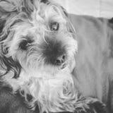 Cachorrinho doce de Shih-Poo Imagem de Stock