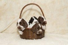 Cachorrinho dois do inglês marrom cocker spaniel Fotos de Stock