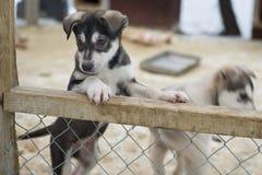 Cachorrinho dois meses de cão ronco velho imagens de stock
