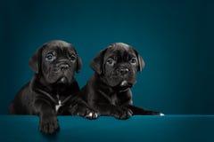 Cachorrinho dois preto do bastão Corso da raça Imagem de Stock Royalty Free
