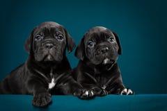 Cachorrinho dois preto do bastão Corso da raça Fotografia de Stock Royalty Free