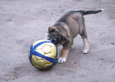 Cachorrinho dos jogos do cão de estimação com bola Foto de Stock
