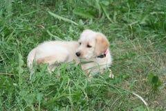 Cachorrinho dourado de Labradoodle Foto de Stock