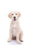 Cachorrinho dourado de labrador retriever Fotografia de Stock