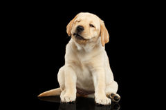 Cachorrinho dourado de labrador retriever isolado no fundo preto fotografia de stock royalty free